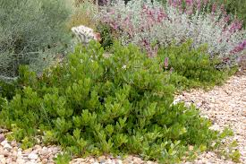 native plants for sale panchito manzanita lifescape colorado