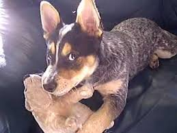 australian shepherd 4 months size playful australian cattle dog 4 months old playing with his toys