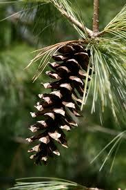 white pine cone file pine cone 777 jpg wikimedia commons