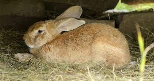 flemish giant rabbits takes