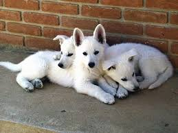 belgian shepherd rescue victoria american white shepherd dog breed information and pictures