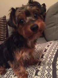 short haired dorkie mixes ralphy our dorkie pets pinterest dog animal and doggies