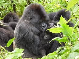 Gorilla Young Gorilla Faces Many Challenges Dian Fossey