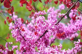 forest pansy redbud tree garden to doorstep