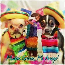 268 best chihuahuas images on chihuahuas merle