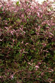 arabian lilac monrovia arabian lilac