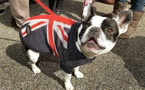 Boston Terrier Flag I U0027m Terribly Sorry I U0027m British You See