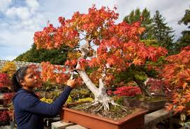 what it looks like when 5 000 bonsai trees change color for fall
