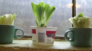How To Grow A Bulb In A Vase Kitchen Scraps You Can Regrow With Nothing But Water