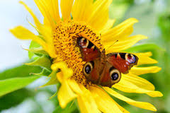butterfly sunflower stock image image of hungry nature 62382565