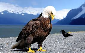 thanksgiving eagles bald eagle wallpaper android apps on google play