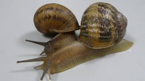jeremy the snail suitors reject him mate with each other