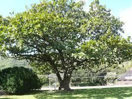 kamani true and false kawika huli wood