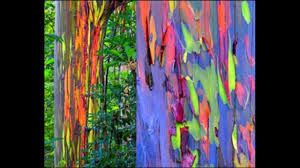 how to grow rainbow tree eucalyptus deglupta mindanao gum seeds