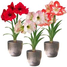 Amaryllis Flowers Shop Amaryllis Bulb At Lowes Com