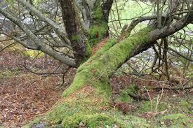 tree moss llandinam