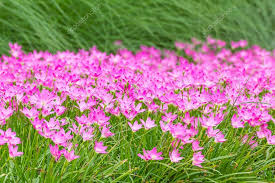 Rain Lily Pink Rain Lily Flower U2014 Stock Photo Stoonn 59330793
