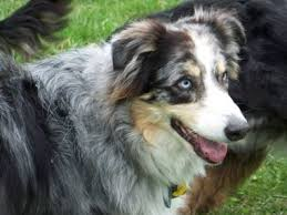 australian shepherd jacksonville new spirit 4 aussie rescue