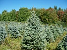 christmas trees u2013 yule tree farms