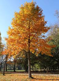 shade trees for sale fast growing trees