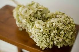 Dried Hydrangeas Large Bunch Of Naturally Dried Green Hydrangeas Green Hydrangeas