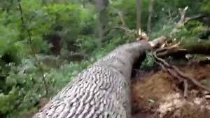 White Oak Tree Bark Great Big White Oak Tree Youtube