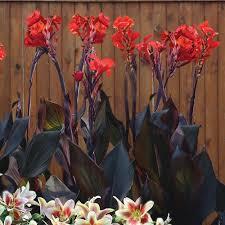 Canna Lily Canna Lily