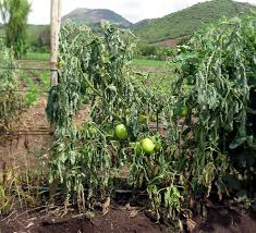 Diseases Of Tomato Plants - tomato diseases bacterial wilt