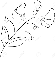 Sweet Pea Images Flower - illustration of fresh sweet pea flower isolated royalty free
