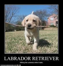Chocolate Lab Meme - labrador meme 28 images 25 best ideas about black lab funny on