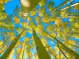aspen arizona high country s tree of recreation