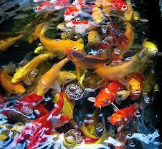 131 best koi images on pinterest nature aquarium and beautiful
