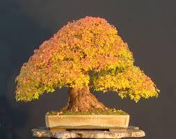deciduous bonsai trees