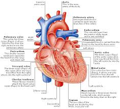 Anatomy Of Heart Valve The Heart Anatomy Of The Heart Structure Of The Heart Wall