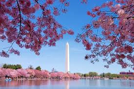 national cherry blossom festival curbed dc