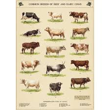 Backyard Dairy Cow Cow Breeds Chart Vintage Style Poster Decorative Paper