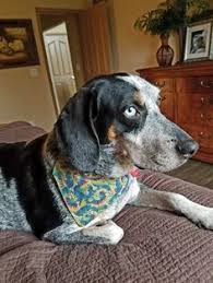 videos of bluetick coonhounds very intelligent devoted a good companion the bluetick