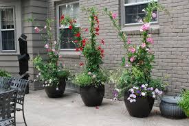 Mandevilla Plant Diseases - red mandevilla vine garden to doorstep