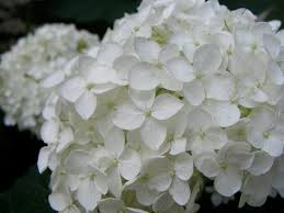 white hydrangeas white hydrangeas farm fresh delivered