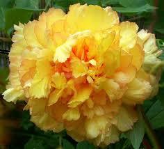 yellow peonies kinshi