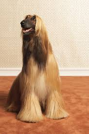afghan hound grooming styles afghan hound sitting in room canvas print canvas art by dtp