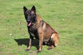 belgian sheepdog price belgian malinois pups due soon in hoobly classifieds