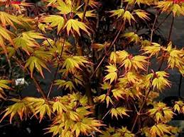 orange japanese maple acer palmatum orange