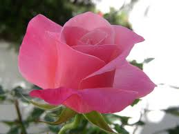 beautiful flower images flower unreal beauty flowers beautiful pink roses garden new