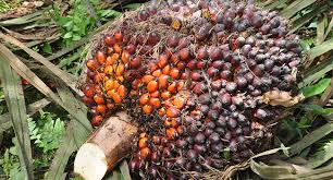 Minyak Kelapa Sawit Terkini berita harian kelapa sawit indonesia infosawit