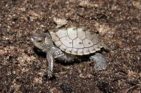 Texas Map Turtle Species Of Turtle Pets4homes