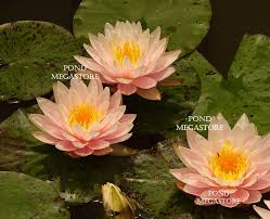 Lilly Flowers Water Lily Blooming Buy Water Lily Flower