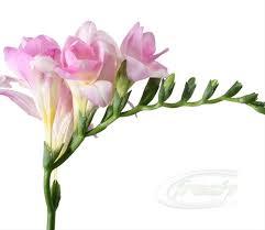 freesia flower freesia pink honeymoon freesia flowers and fillers