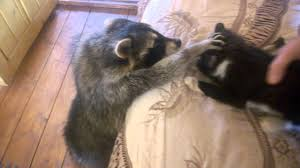 raccoon tries to make friends with cat youtube