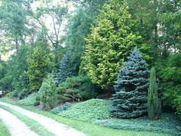 best privacy trees cifers beutiful lg cheap for sale florida